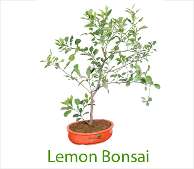 Bonsai Plants at Greenish